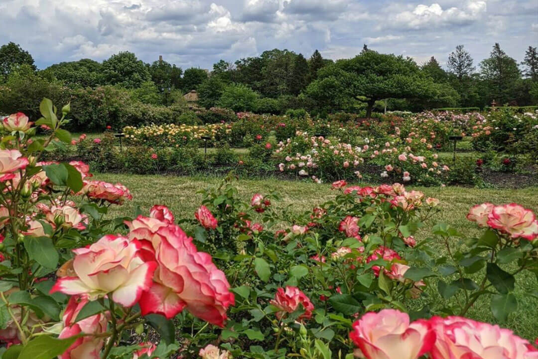 Roses at the Garden